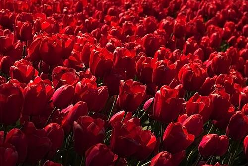 4-tulip