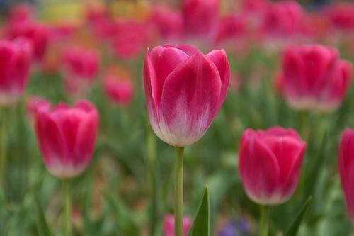 c-yasashii-tulip