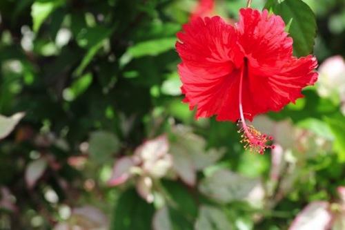 i-ta-hibiscus