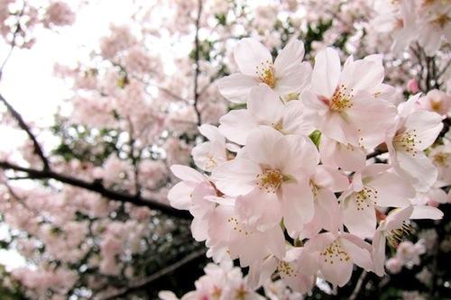 spring-sakura